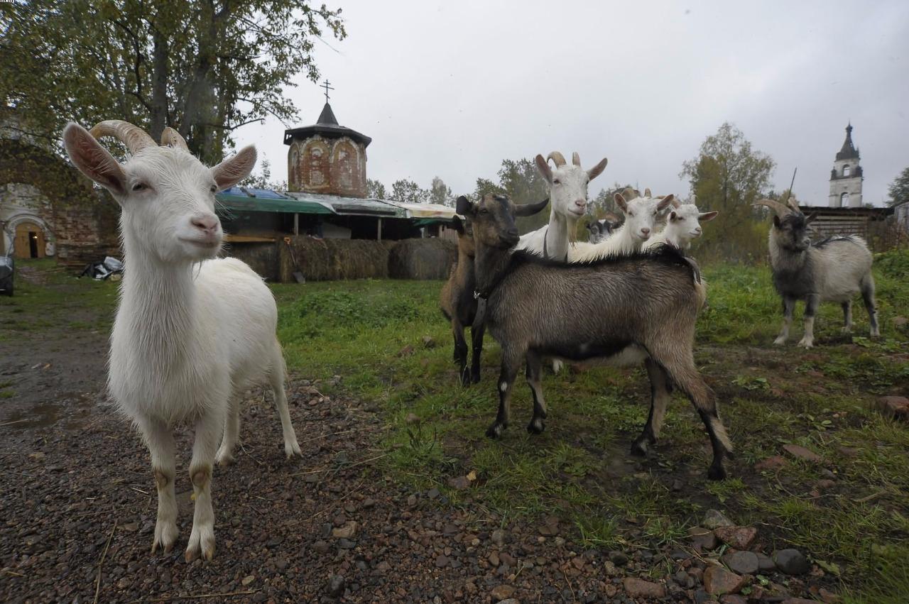 У монастыря свое небольшое хозяйство: козы, куры и маленький огород
