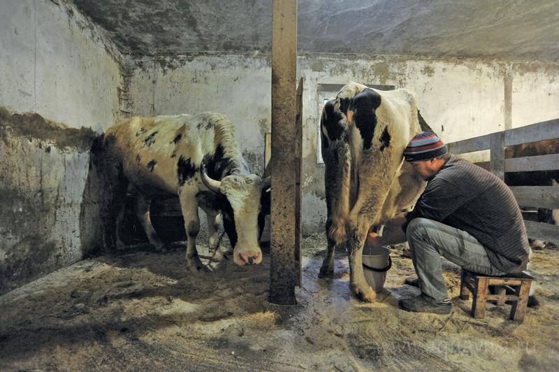 Коровы живут по расписанию, доить буренок нужно строго в отведенные часы